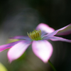 庭のクレマチス(1)