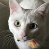 白猫オッドアイのシーツさんの遊んで攻撃。