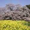 吉高の大桜 その四 〜チューリップ・桜ライド 2019 ④〜
