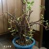 母が管理できなくなった物 植物その2 貧乏の木
