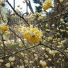 早春の神戸森林植物園。サンシュユ、ミツマタ、カタクリ。ホオジロ、コゲラ、ヤマガラ。