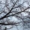 桜が咲いたが雨続き お互いにお構いなし☆彡