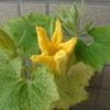 ベランダでカボチャを育て始めたけど、葉っぱが・・・。