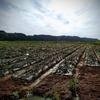 青森県も梅雨入りした模様、収穫前のたまねぎに殺菌剤を散布