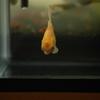 水槽写真館『金魚の写真』