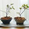 ヒメシャラの若葉とナツハゼの植え替え