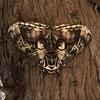 「猫科の動物の顔に似ている模様の蛾」発見ニャン(=^・^=)