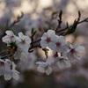 夕刻の葉桜と春の花