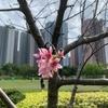 香港で桜を探してお花見【第一弾】