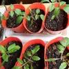 自家採種したトマトの成長記録 ②  一カ月後