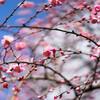万博記念公園で梅を撮ってきた