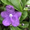 ニオイバンマツリの開花