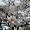 桜の名所、野川公園にお花見散歩