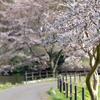 XF50-140mmで桜を撮ってきました。桜写真の作例あります。