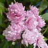 【花】画像日記 八重の桜や八重の梅など 新顔も登場!