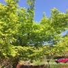滋賀県 石道寺 新緑を楽しみに