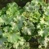 花の少ない冬は葉を愛でよう!江戸が生んだ葉芸を楽しめる植物8選