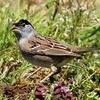 お年玉写真:珍鳥キガシラシトドと珍鳥サバンナシトド
