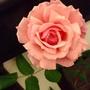 薔薇、咲きました!