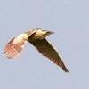 悠然と空を飛ぶサンカノゴイ(山家五位)の連写40枚