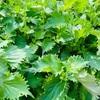 無農薬野菜の家庭菜園