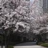 ソウルの桜も満開