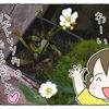 ハエトリソウの花が咲きました【食虫植物】