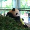 パンダ見てきましたよ〜。南紀白浜マリオットホテルを起点に爽やか観光めぐり