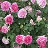 バラ栽培講座(21) バラ関連の超おすすめ書籍8