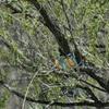 カワセミが巣を掘り始めた^_^