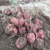 安納芋を掘り上げた。結果は不作に終わった
