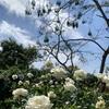 チェンマイにて② 北方のバラで薔薇を観る