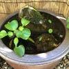 睡蓮鉢でメダカのビオトープにチャレンジ【Vol.3 : 水生植物の成長】
