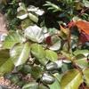 テリテリの赤い若葉が好きレッドレオナルドダヴィンチ