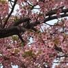 桜は咲くーフィギュアスケート編ー
