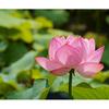 ハスの花が見ごろ!上野恩賜公園を歩いてきた