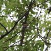 この時期には珍しいサンコウチョウ(大阪城野鳥探鳥 20200712 4:35-9:10)
