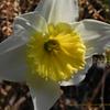 洋と和の水仙考,スイセン,Narcissus