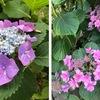 1.梅雨の時期の花と言えば,やはりアジサイ.でも,アジサイは,梅雨明けまで,庭を彩ってくれるわけではありません.  少なくとも我が家の庭では. 2.花瓶にさした花は,ナナカマド? ホザキナナカマド?30センチに満たない,とても小さな苗を買い求めたのは,7,8年前.  「ナナカマド」として売られていたもの.丈は,今,1.5メートルぐらいでしょうか.昨年初めて花が咲きました.しかし,ナナカマドの花とはどうも違うように見えます.花の姿が似ているのは,7.8月開花というホザキナナカマド.