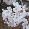 白さでは母校の花に敵わない(川柳、その7)