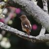 梅の花と野鳥