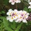 #2 ヒメイワダレソウ 花がポンポン咲く