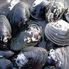 ドブガイ/5匹/ドブ貝/淡水二枚貝/タナゴ/カネヒラ/産卵/繁殖【5000円以上ご購入で送料無料】