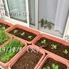 白菜の定植とハモグリ映え