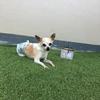 芝生敷いてよかった。要介護の愛犬がゴロンと寝転んで喜んでくれています。介護生活を楽しもう!