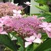今日も紫陽花の花です。