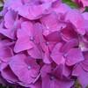 紫陽花の挿し木、初挑戦