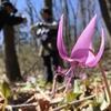 那智が丘「カタクリの里」の春の妖精に会って来ました。