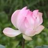 再度、蓮(ハス)の花