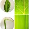 自由研究、食虫植物から葉脈に変更